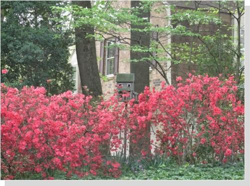 Azaleas at a home in Annandale