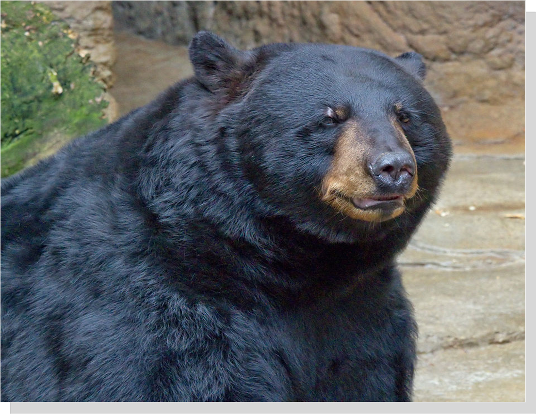 American Black Bear (Greg hume(
